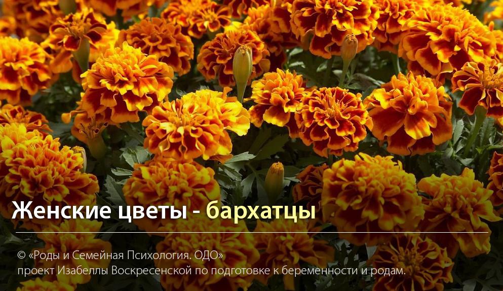 """""""Женские цветы - бархатцы"""" Автор Изабелла Воскресенская"""